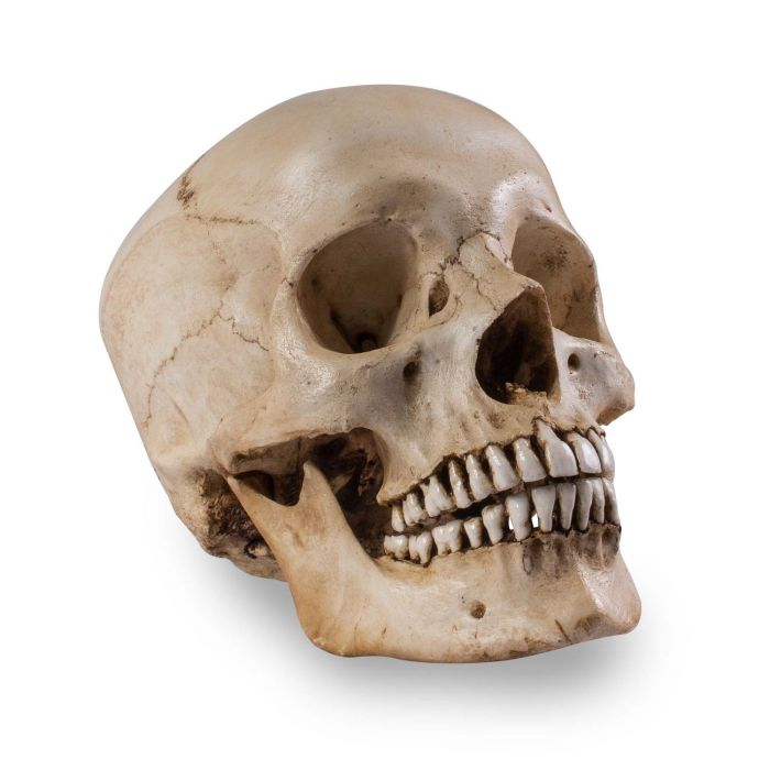 Skull Shoppe – Erwachsener Ostinder (makelloses Gebiss)