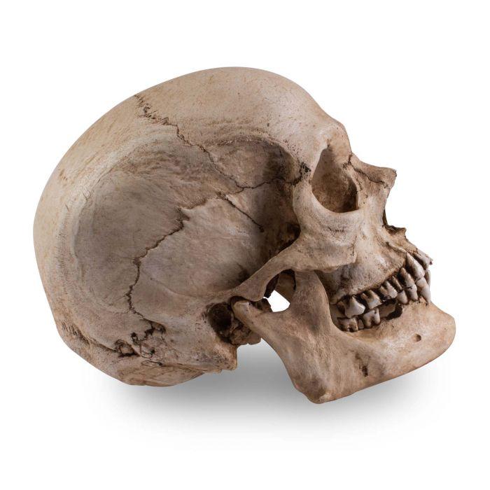 Skull Shoppe – Erwachsener Ostinder (Nasenscheidewandverkrümmung)