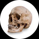 Dekorations-Schädel von Skull Shoppe